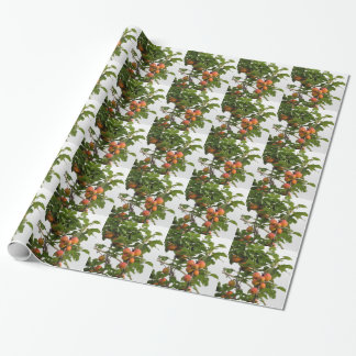 Ripe apricots hanging on the tree . Tuscany, Italy Wrapping Paper