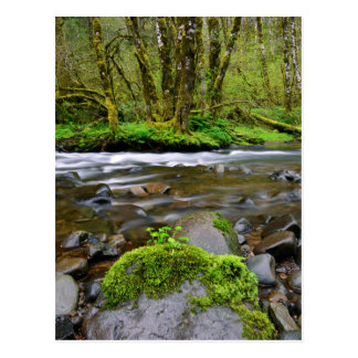 River in green forest, Oregon Postcard