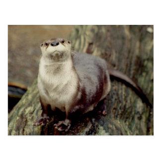 River Otter Posing Postcard