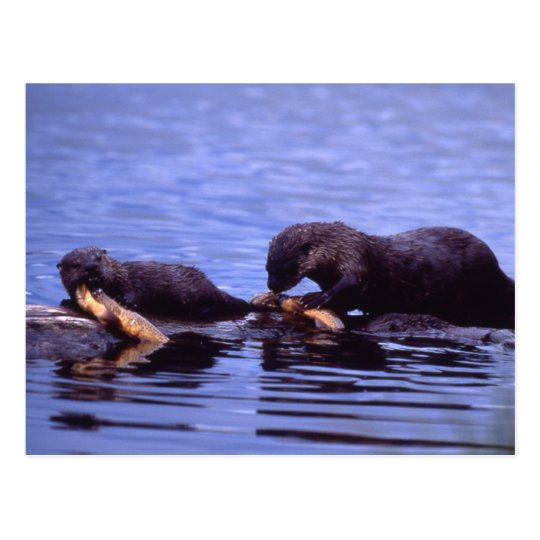 River Otters Wildlife Series # 15 Postcard