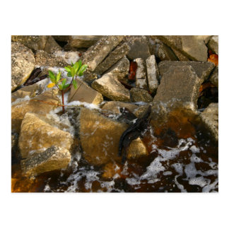 River Rocks Cement Blocks and Mangrove Seedling Postcard