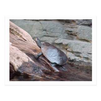 """River Turtle"" Postcard"