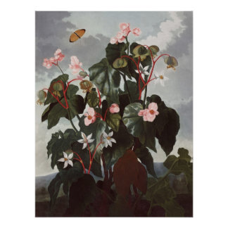 RJ Thornton - Oblique-leaved Begonia Poster
