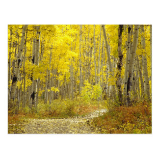 Road with autumn colors and aspens in Kebler 2 Postcard
