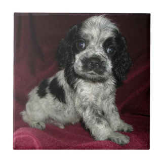 roan american cocker spaniel puppy, Apollo Tile