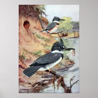 Robert Bruce Horsfall - Vintage Belted Kingfisher Poster