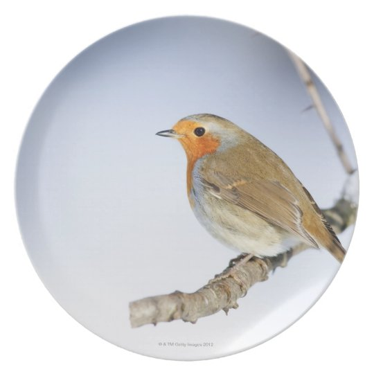 Robin perched on a branch in winter plate