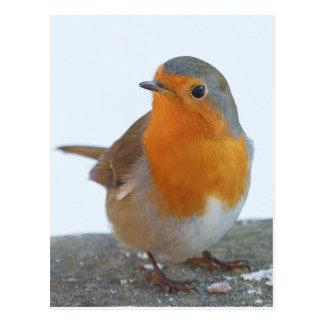Robin Red Breast Postcard