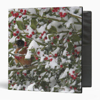 robin sheltering in a holly tree after a snow binder