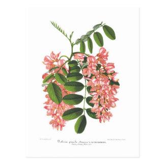 Robinia Postcard