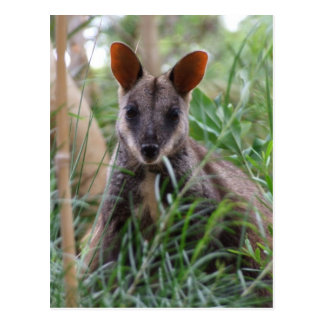 Rock Wallaby postcards
