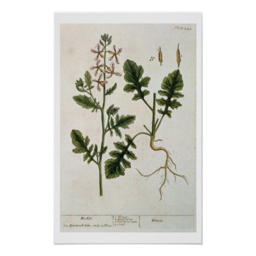 Rocket, plate 242 from 'A Curious Herbal', publish Poster