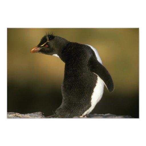Rockhopper Penguin, Eudyptes chrysocome), Art Photo