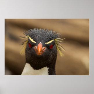 Rockhopper penguin portrait poster