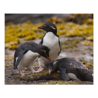 Rockhopper penguins communicate with each other poster