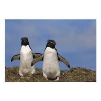 Rockhopper Penguins Eudyptes chrysocome Art Photo