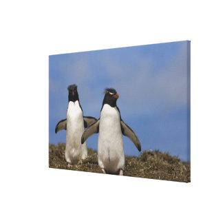 Rockhopper Penguins Eudyptes chrysocome Stretched Canvas Prints