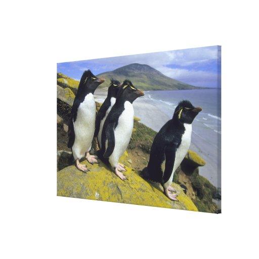 Rockhopper Penguins, (Eudyptes chrysocome), Stretched Canvas Prints