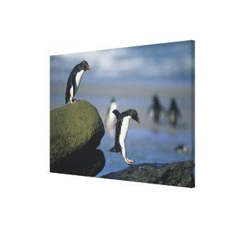 Rockhopper Penguins, Eudyptes chrysocome), Canvas Prints