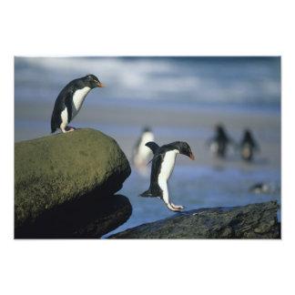 Rockhopper Penguins, Eudyptes chrysocome), Photographic Print