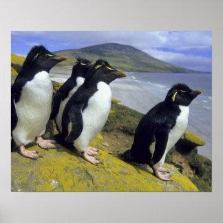 Rockhopper Penguins, (Eudyptes chrysocome), Poster