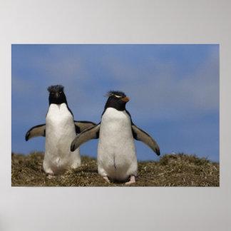Rockhopper Penguins Eudyptes chrysocome Posters