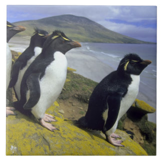 Rockhopper Penguins, (Eudyptes chrysocome), Tile