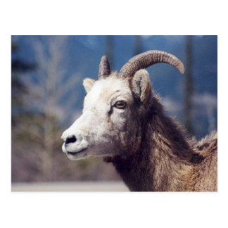 Rocky Mountain Big Horn Sheep Postcard