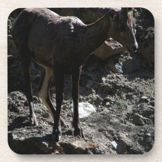 Rocky Mountain Bighorn Sheep, ewe Coaster