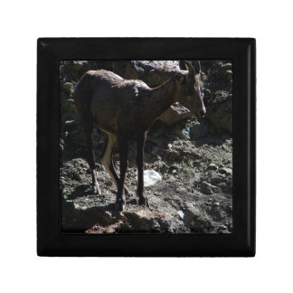 Rocky Mountain Bighorn Sheep, ewe Gift Box