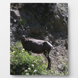 Rocky Mountain Bighorn Sheep, ewe Plaque