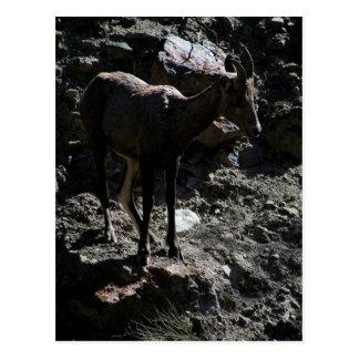 Rocky Mountain Bighorn Sheep, ewe Postcard