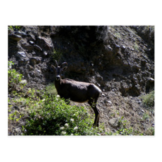Rocky Mountain Bighorn Sheep, ewe Postcard