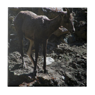 Rocky Mountain Bighorn Sheep, ewe Tile