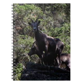 Rocky Mountain Bighorn Sheep, Keremeos, BC Notebooks