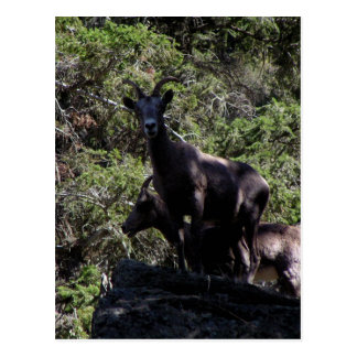 Rocky Mountain Bighorn Sheep, Keremeos, BC Postcard