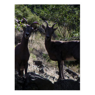 Rocky Mountain Bighorn Sheep Postcard