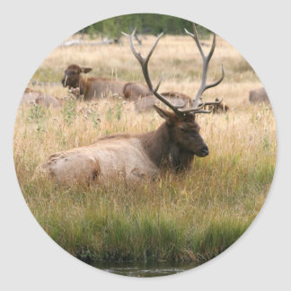 Rocky Mountain Elk in the Grass Round Sticker