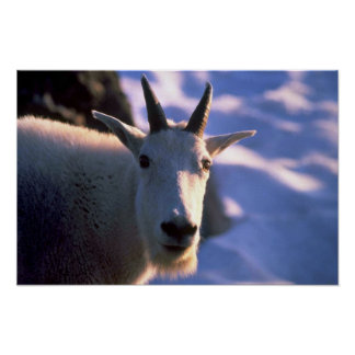 Rocky Mountain Goat Head Poster