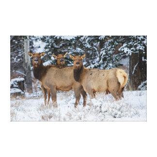Rocky Mountains, Wyoming. Elk (Cervus Elaphus) Canvas Print