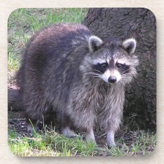 Rocky the Raccoon Coaster