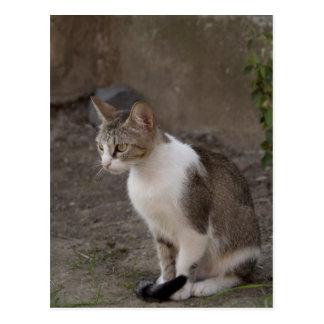Romania, Transylvania, Sighisoara. Pet cat. Postcard