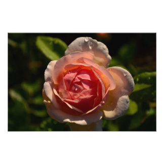 Romantic Pink Rose with Raindrops Photograph