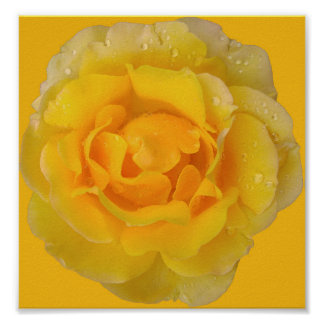 Romantic Yellow Rose Water Drops Poster