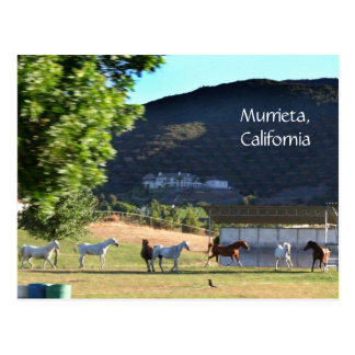 Romping Horses in Murrieta, CA Postcard