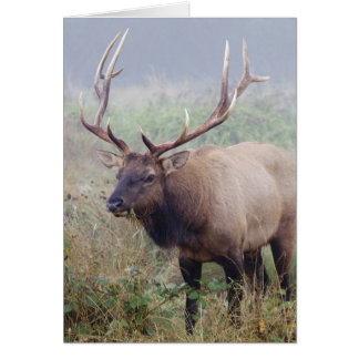 Roosevelt Elk Grazes at Redwood National Park Card