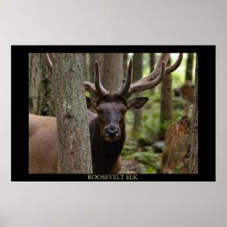 Roosevelt Elk Poster