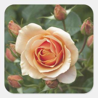 rosa-1859002 square sticker