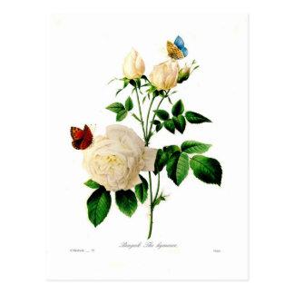 Rosa bengale postcard