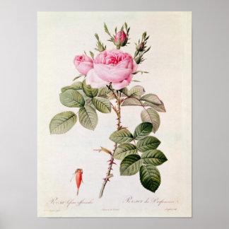 Rosa Bifera Officinalis, from 'Les Roses' Poster